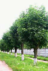 Обрезка деревьев. Так выглядит поллярдинг летом.