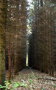 Сухие ветви нижних ярусов в загущеных искусственных посадках ели.