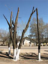 Один из видов обрезки дерева - топпинг.